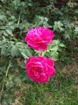 Mum's roses 2015