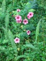 hibiscus-akiko